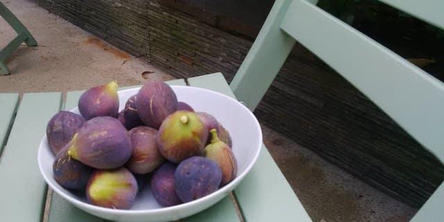 Récolte de figue fin septembre à la Maison Bleue Bordeaux